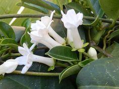 Ароматы круглый год: душистые растения для комнат и зимних садов  Стефанотис обильноцветущий (Stephanotis floribunda)