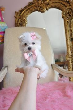 Tiny Teacup Maltese 16 oz at 9 weeks So Adorable She fits in the palm of your hand SOLD, Moving to Miami - Maltese Puppies Teacup Persian Kittens, Teacup Maltese, Maltese Puppies, Moving To Miami, Palm Of Your Hand, Doll Face, Cassie, Babys, Baby Dolls