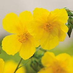 Dieses reichblühende Sonnenröschen zeigt von Mai bis Juli seine einfachen, gelben Blüten die jeden Garten zum Strahlen bringen. Dieses Sonnenkind liebt die Sonne und den Halbschatten und wächst aufrecht und polsterartig.