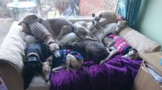 Whippet couch  (Mary Elliot's)