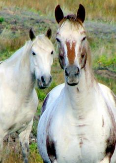 White Horse Art  Horse photography Horse portrait by TupperRugs, $7.50 #horse #equine #equestrian #animals #horse