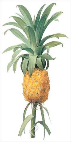 Pineapple (bot. Bromelia ananas), Giclee Print on Canvas by Pierre-Joseph Redoute at Eurographics