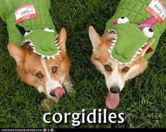 "Hah!! ""Corgidiles"" cute, cute, cute"