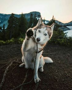 Wonderful All About The Siberian Husky Ideas. Prodigious All About The Siberian Husky Ideas. Cute Baby Animals, Animals And Pets, Funny Animals, Cute Husky, Husky Puppy, Pomeranian Puppy, Cute Puppies, Cute Dogs, Dogs And Puppies