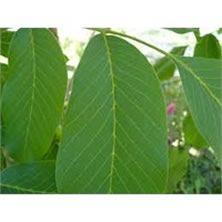 ceviz yaprağı