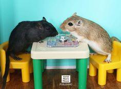 Gerbils Playing Board Game