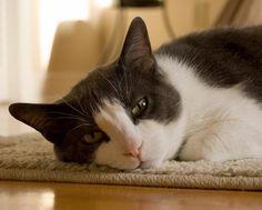 Cómo saber si mi gato tiene toxoplasmosis - http://www.notigatos.es/como-saber-si-mi-gato-tiene-toxoplasmosis/