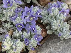 Veronica Bombycina; groundcover between the lavender and the retaining wall.