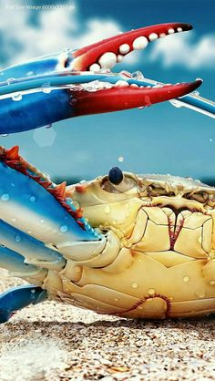 Chesapeake Blue Crab modelled graphic in this case) Callinectes sapidus, also; the blue crab, Atlantic blue crab is a species of crab native to the waters of the western Atlantic Ocean and the Gulf of Mexico, and introduced internationally. Beautiful Creatures, Animals Beautiful, Fauna Marina, Wale, Water Life, Ocean Creatures, Underwater Creatures, Tier Fotos, Sea World