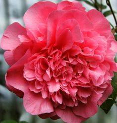 Ivors Fluffy Pink