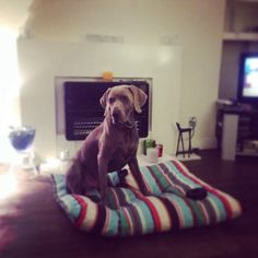 Dogs handsome slovakian pointer Weimaraner