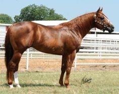 Quarter Horse - stallion Bugemforcash