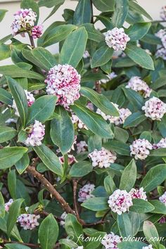 These tips on how to grow Daphne are the BEST! Now I know what to plant in the shade under the trees in my garden. I love that it is evergreen, fragrant and blooms in the winter! Definitely pinning!