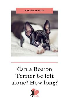 How to leave your Boston terrier alone and for how long #bostonterrier #bostonterrierhomealone #bostonterrierfacts #bostonterriercare #bostonterrierhealth #bostonterrierbehaviour #bostonterriertemperament #owningabostonterrier #dogenvironment #doghomealone #dogsepartiontips