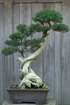 This looks like one of the bonsai from the Weyerhauser bonsai collection in Washington.  Love the curved trunk!