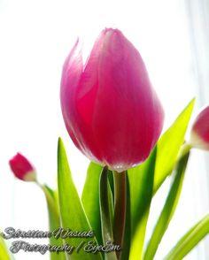 Sebastian #wasiak #eyeem #creative #tulip #tulips #macro #pink #light #green #whitebackground #clousup by wasiak.sebastian