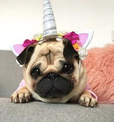 Unicorn costume tried on pug-SOOOOOOO CUUUUUUUUUTE