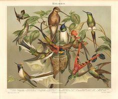 1896 White-tipped Sicklebill, Crimson Topaz, Cayenne Fairy, Tufted Coquette, Flag-tailed Hummingbird, Vervain Hummingbird Antique Lithograph