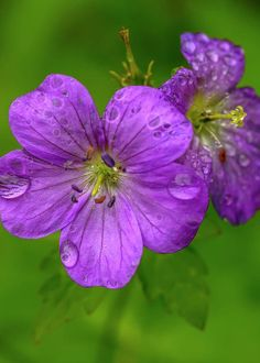 Wild Geranium with Raindrops Greeting Card for Sale by Thomas R Fletcher Geranium Pratense, Geraniums Garden, Wild Geranium, Cactus, Purple Garden, Hollyhock, Rain Drops, White Envelopes, Hibiscus