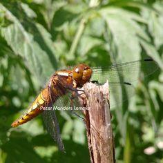 Libel / Dragonfly