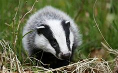 Culling cattle, not badgers, 'only way to stop bovine TB' Lovely Creatures, Woodland Creatures, Somerset, Badger Pictures, Especie Animal, Woodland House, Pictures Of The Week, Killer Whales, Cattle