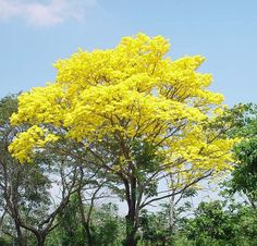 National Tree of Venezuela: Araguaney. This impressive plant of the Bignoneaceae family has been decreed as Venezuela's emblematic tree species. Photographer: Dietrich - (V)