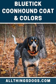 The Blueticks body is thickly molted, predominantly with blue ticking although red ticking can occur on the chest and legs. Read on to find out about the various Bluetick Coonhound colors and their coat. #bluetickcoonhound #bluetickcoonhoundcolors #bluetickcoonhoundcoat Hunting Dogs, Turkey Hunting, Whitetail Deer Hunting, Bluetick Coonhound, Loyal Dogs, Blue Dog, Hound Dog, Large Dogs, Mans Best Friend