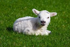 As Gentle as a Lamb   http://people.opera.com/danield/presentations/html5-parser/pictures/baby-lamb.jpg