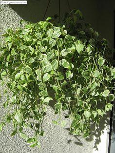 ....Adenium Blog....: Plantas ornamentais boas para apartamento. Plantar, Gardening Tips, Bathroom, Home Decor, Vegetable Garden Tips, Fake Flower Arrangements, String Garden, Secret Gardens, Plant Decor