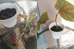 Lue blogistamme ohjeet kuinka saat helposti lisää viherkasveja pistokkaista! Plants, Plant, Planets