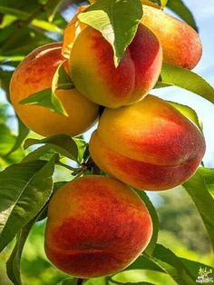 Pin by Татьяна Матвеева on фрукты,ягоды in 2019 Fresh Fruits And Vegetables, Organic Vegetables, Fruit And Veg, Growing Vegetables, Fruit Plants, Fruit Garden, Fruit Trees, Photo Fruit, Fruit Picture