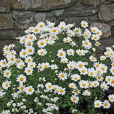 Your garden will glow with the large, pure white blossoms of this carefree Marguerite Daisy. Plants flower all season long in cooler areas of the country. Large Containers, Yellow Daisies, Side Garden, Annual Flowers, White Butterfly, New Growth, Plant Care, Cut Flowers, Pure White