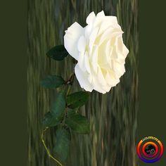 """13 Beğenme, 2 Yorum - Instagram'da @fotoselect (@fotoselect): """"#fotoselect #beyazgül #whiterose #makro #macro #gül #rose #cicekler #flowers #flowerstagram #doğa…"""""""