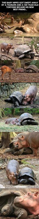 Baby hippo and old tortoise become best friends… on imgfave
