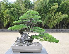 stone3 - a very masculine tree - the base is the is very big but is then balanced by a strong lower branch - the next branch up is placed to fill a void just above the lower branch - beautiful design and an enviable specimen  thanks to: http://bonsaibark.com/2013/04/23/bonsai-island-paradise/