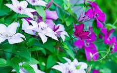 Clematis - the best climbing plants for shade