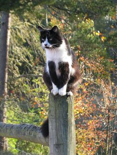 Felix (by horses merci) black-and-white cat sitting on a post