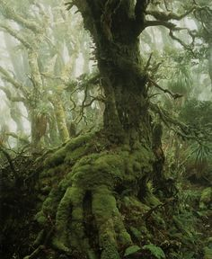 """ah, yes, my fave tree of all time :-) in QLD we call them *Antarctic Beech Trees* (Nothofagus Cunninghamii I think) this photo taken by Peter Dombrovskis """"Myrtle Tree in Rainforest at Mount Anne"""" Southwest Tasmania 1984 Fairy Tale Forest, Tree Forest, Haunted Forest, Mystical Forest, Mother Earth, Mother Nature, Myrtle Tree, Old Trees, Jolie Photo"""
