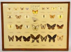 Framed Butterfly Specimen Print - No butterflies were harmed in the making of this art!