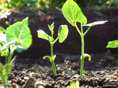 ¡No te olvides de sembrar las últimas judías! http://www.huertos.org/2015/07/no-te-olvides-de-sembrar-las-ultimas-judias/
