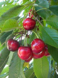 Lambert Cherry (Prunus avium)