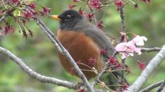 California Wildlife --- American Robin, singing