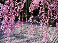 Zen:Garden Japan Cherry tree,myoushin-ji,妙心寺