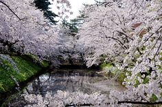 Cherry Blossom Dates in Japan | Cherry blossom viewing is not the quiet, haiku-writing, kimono-sleeve ...