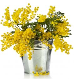 Picture of bouquet mimosa acacia flowers with heart note card in a bucket of zinc, decorative card on white stock photo, images and stock photography. Mimosas, Acacia Dealbata, Le Mimosa, Bouquet, Flower Centerpieces, Yellow Flowers, Flower Art, Flower Power, Floral Arrangements