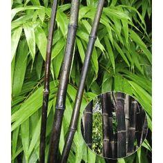 PN1058 Pflanzen - Baum & Strauch - Heckenpflanzen - Schwarzer Bambus 'Black Bamboo',1 Pflanze