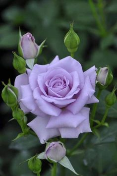 This Rose is in memory of my good friend Elizabeth Herzig who passed away this morning. Rest in Peace Elizabeth. June 20/17.