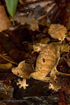 Satanic Leaf-Tailed Gecko   Flickr - Photo Sharing!