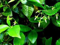 Every year, gardeners ask: why my jasmine is drying and losing leaves. Not all jasmines need to be treated, but when they do, the information found in this article will help.