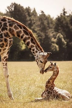 Giraffes by Nadine Volz love to see Giraffe momma and baby's Giraffe Pictures, Animal Pictures, Nature Animals, Animals And Pets, Safari Animals, Wild Animals, Beautiful Creatures, Animals Beautiful, Cute Baby Animals